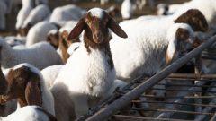 Hayvancılık Teşvikleri Hangi İller İçin Veriliyor? [TAM LİSTE]